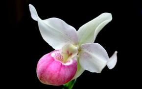 Картинка лепестки, экзотика, орхидея
