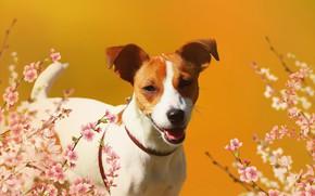 Обои фон, цветы, джек рассел терьер, взгляд, собака