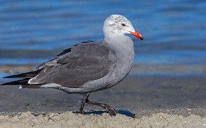 Картинка вода, птица, клюв, чайка Хеерманна