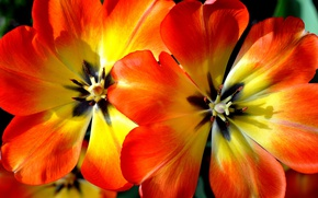 Картинка цветы, природа, лепестки, тюльпаны