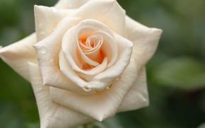 Картинка капли, макро, роза, лепестки, бутон