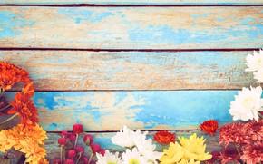 Картинка цветы, весна, colorful, хризантемы, wood, flowers, spring, tender