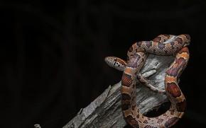Картинка фон, змея, Pantherophis guttata, Baby Corn Snake