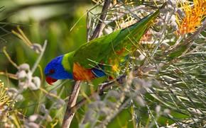 Картинка птица, клюв, попугай, многоцветный лорикет