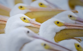 Картинка птицы, природа, пеликаны