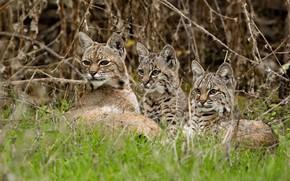 Картинка трава, ветки, котята, рысь, дикая кошка, детёныши