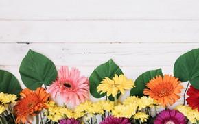 Картинка листья, цветы, герберы, хризантемы