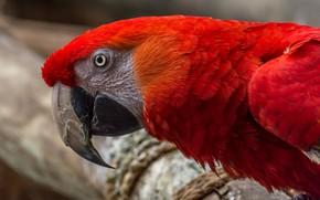 Картинка взгляд, красный, яркий, фон, птица, клюв, попугай, ара, оперение