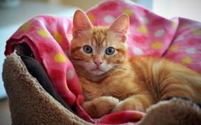 Картинка кошка, кот, взгляд, уют, котенок, розовый, покрывало, рыжий, мордочка, ткань, лежит, котёнок, лежанка, лежбище, свернулся