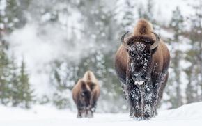 Обои зима, снег, бизоны