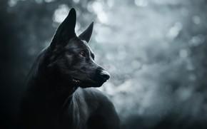 Обои друг, Prince of darkness, собака