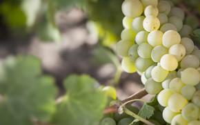 Картинка листья, виноград, гроздь, кустарник