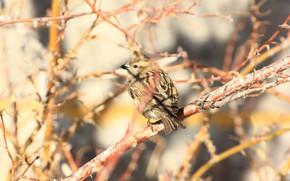 Картинка природа, фон, воробей, птичка