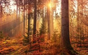 Картинка лес, лучи, свет, деревья