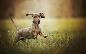 Картинка боке, собачонка, радость, настроение, прогулка, такса, трава