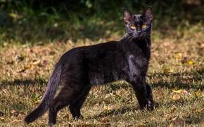 Картинка глаза, кот, взгляд, черный