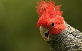 Картинка фон, птица, перья, попугай, хохолок, Шлемоносный какаду
