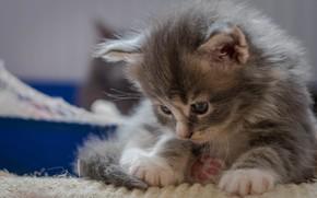Картинка лапки, малыш, котёнок, Мейн-кун