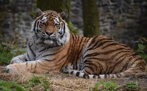 Картинка природа, тигр, лежит