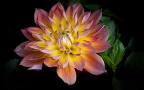 Картинка цветок, природа, лепестки, георгина