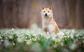 Картинка взгляд, морда, цветы, природа, парк, фон, настроение, поляна, собака, весна, размытость, подснежники, щенок, прогулка, сидит, …