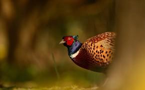 Обои птица, фон, размытый, яркое оперение, дикая природа, фазан