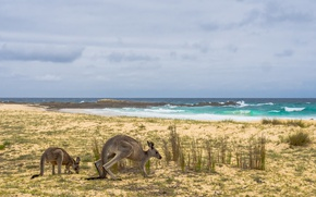Картинка море, берег, Австралия, кенгуру