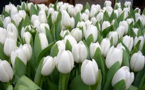 Обои сад, тюльпаны, лепестки, весна