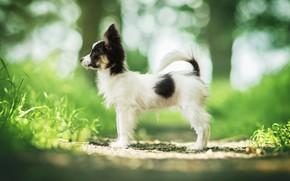 Картинка собака, щенок, боке, пёсик, Папийон, Континентальный той-спаниель