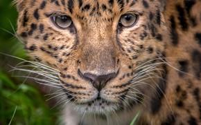 Картинка взгляд, портрет, леопард