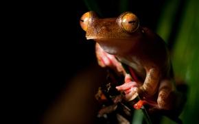 Картинка животные, глаза, макро, лист, зеленый, листок, лягушка, оранжевая, стебель, рыжая, черный фон, мордашка, сидит, зрачки, …