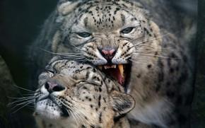 Картинка кошки, пара, снежный барс
