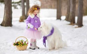 Картинка снег, корзина, собака, девочка, тюльпаны, самоед