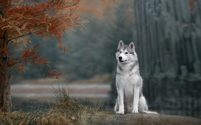 Картинка осень, собака, Хаски
