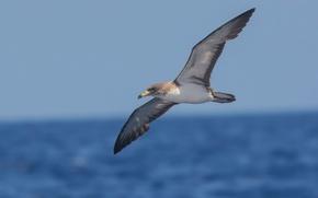 Картинка море, птицы, полёт, боке, буревестник, средиземноморский буревестник