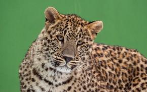 Картинка кошка, глаза, взгляд, морда, зеленый, фон, портрет, леопард, милый, дикая, молодой, пятнистый