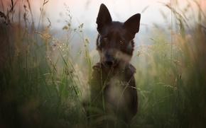 Картинка поле, лето, трава, морда, природа, стебли, портрет, собака, луг, черная, немецкая овчарка, пёс, овчарка, немецкая, ...