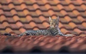 Картинка крыша, кошка, взгляд, котёнок, черепица, на крыше