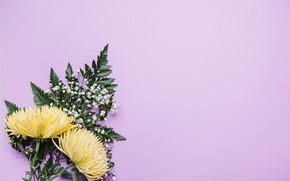 Картинка зелень, цветы, фон, хризантемы