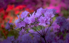 Картинка макро, ветка, соцветие, рододендроны