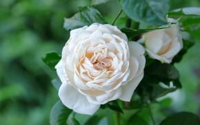 Картинка макро, роза, лепестки, бутоны, белая роза