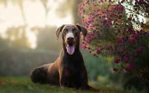 Картинка язык, взгляд, цветы, собака, хризантемы