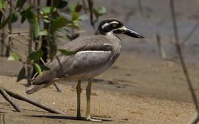 Картинка птица, берег, клюв, австралийская авдотка
