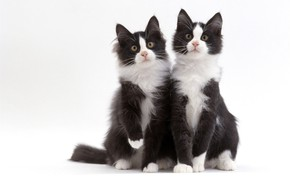 Картинка черно-белый, коты, дуэт