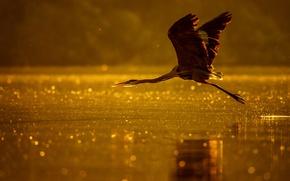 Обои река, птица, полет, свет, озеро, цапля, боке