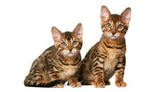 Картинка котята, дуэт, калифорнийские короткошерстные