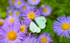 Картинка Макро, Бабочка, Macro, Фиолетовые цветы, Butterfly, Purple flowers