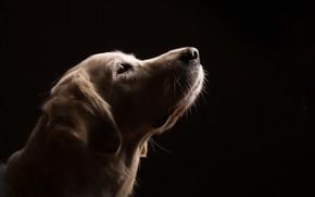 Картинка взгляд, фон, собака