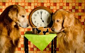 Картинка миска, табурет, обед, часы, ретривер, золотистый, ситуация, собаки, две, Dinner Time, рыжие, время