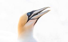 Картинка птица, клюв, северная олуша